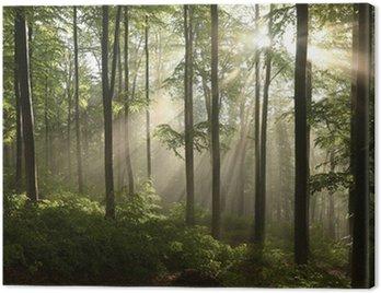 Obraz na Płótnie Buczyna wiosna po kilku dniach deszczu w mglisty poranek