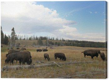 Buffalo w Yellowstone