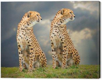Cheetah (A. jubatus) w afrykańskiej sawanny.
