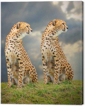 Obraz na Płótnie Cheetah (A. jubatus) w afrykańskiej sawanny.