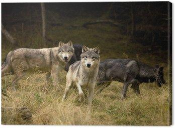Obraz na Płótnie Ciekawe wilki w polu