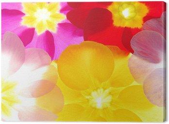 Obraz na Płótnie Close-up of primula kwiaty na białym tle