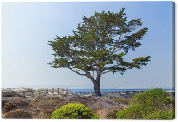 Obraz na Płótnie Cyrpus Drzewo Linie Ścieżka do Monterey Bay