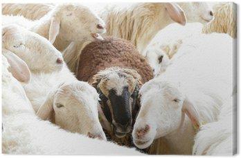 Obraz na Płótnie Czarna owca w grupie