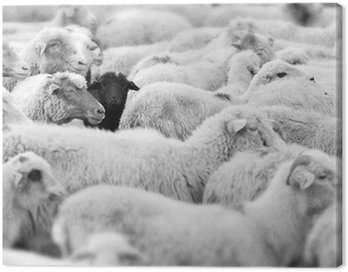 Obraz na Płótnie Czarna Owca