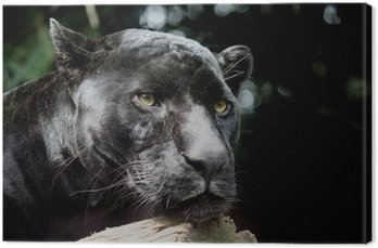 Czarny Jaguar