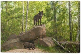 Czarny Wilk (Canis lupus) stoi na szczycie Den