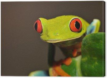 Czerwone oczy zielone drzewo lub krzykliwe żaba liść, kostaryka