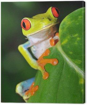 Obraz na Płótnie Czerwone oczy zielony rzekotka patrząc, Kostaryka