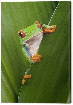Obraz na Płótnie Czerwony eyed tree frog ciekawski