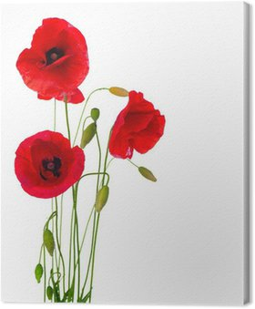 Obraz na Płótnie Czerwony kwiat maku na białym tle