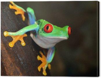 Obraz na Płótnie Czerwonych oczu żaba Agalychnis callidryas w terrarium