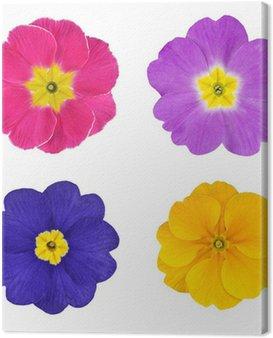 Obraz na Płótnie Cztery Kolorowe kwiaty pojedyncze Primroses