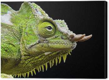 Obraz na Płótnie Cztery rogaty Chameleon / Trioceros quadricornis
