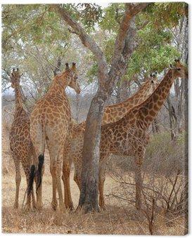 Obraz na Płótnie Cztery żyrafy odpoczynku pod drzewem, Kruger NP