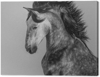 Dapple-gray andaluzyjski ogier - portret w ruchu