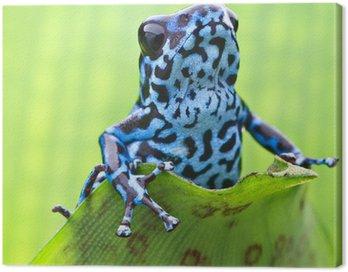 Obraz na Płótnie Dendrobates pumilio Colubre