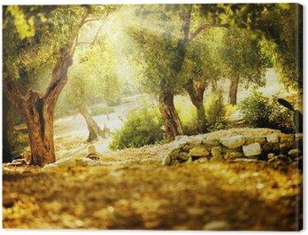 Obraz na Płótnie Drzewa oliwne