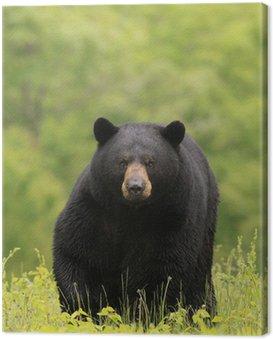 Duży mężczyzna niedźwiedź czarny
