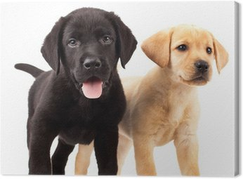 Dwa cute szczenięta labrador