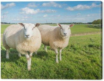 Obraz na Płótnie Dwa z zaciekawieniem patrząc owiec