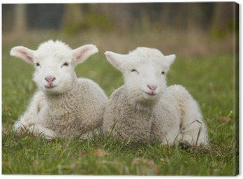 Obraz na Płótnie Dwie urocze młode jagnięta relaks w polu trawy