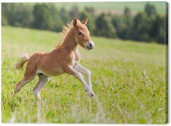 Obraz na Płótnie Falabella mini koń