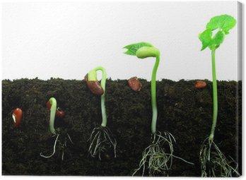Obraz na Płótnie Fasola nasiona kiełkujące w glebie