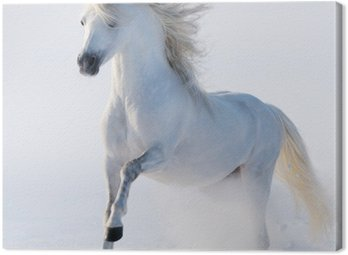 Obraz na Płótnie Galopujący koń śnieżnobiały