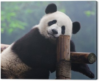 Obraz na Płótnie Giant Panda Bear patrząc na kamery