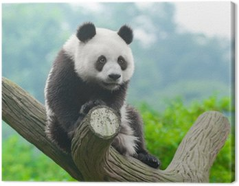 Obraz na Płótnie Giant panda bear wspinaczki w drzewo