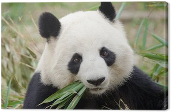 Obraz na Płótnie Giant Panda jedzenie bambusa, Chengdu, Chiny