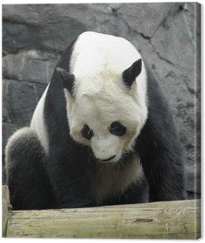 Obraz na Płótnie Giant panda2