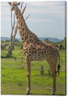 Giraffe w Afryce, Zambia