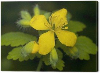 Obraz na Płótnie Glistnik jaskółcze ziele Chelidonium majus