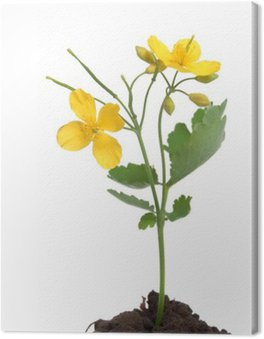 Obraz na Płótnie Glistnik jaskółcze ziele z kwiatami ponad biały