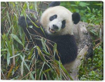Obraz na Płótnie Głodny panda bear jedzenia bambusa
