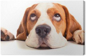 Obraz na Płótnie Głowa beagle samodzielnie na białym tle