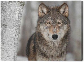 Grey Wolf (Canis lupus) Obok Birch Tree