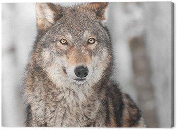 Obraz na Płótnie Grey Wolf (Canis lupus) z jednym uchu Powrót