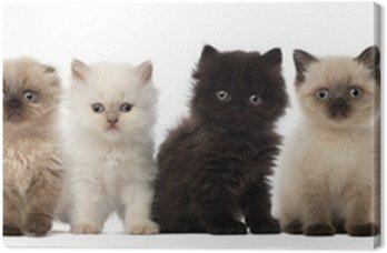 Grupa brytyjski krótkowłosy i brytyjskich kociąt długowłose