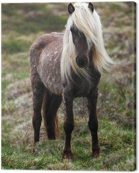 Obraz na Płótnie Islandia koń