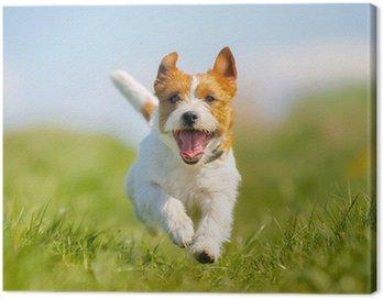 Obraz na Płótnie Jack Russell terrier