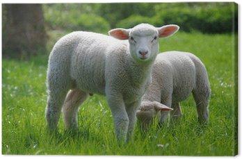 Obraz na Płótnie Jagnięcina (owce) na pastwisku