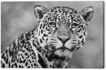 Obraz na Płótnie Jaguar - Panthera onca