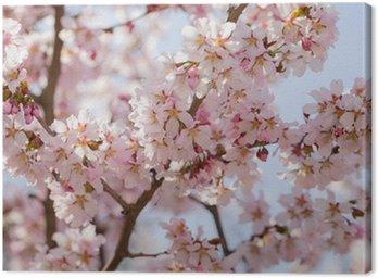 Obraz na Płótnie Japonia sakura kwiat wiśni