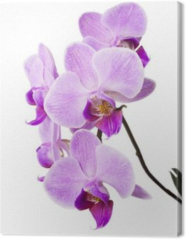 Obraz na Płótnie Jasny purpurowy storczyków wyizolowanych na białym tle