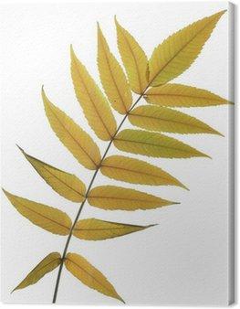 Obraz na Płótnie Jesienne liście z jesionu