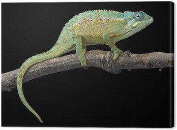 Obraz na Płótnie Kameleon Elliota (Trioceros ellioti)