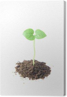 Obraz na Płótnie Kiełkowanie czarnej soi